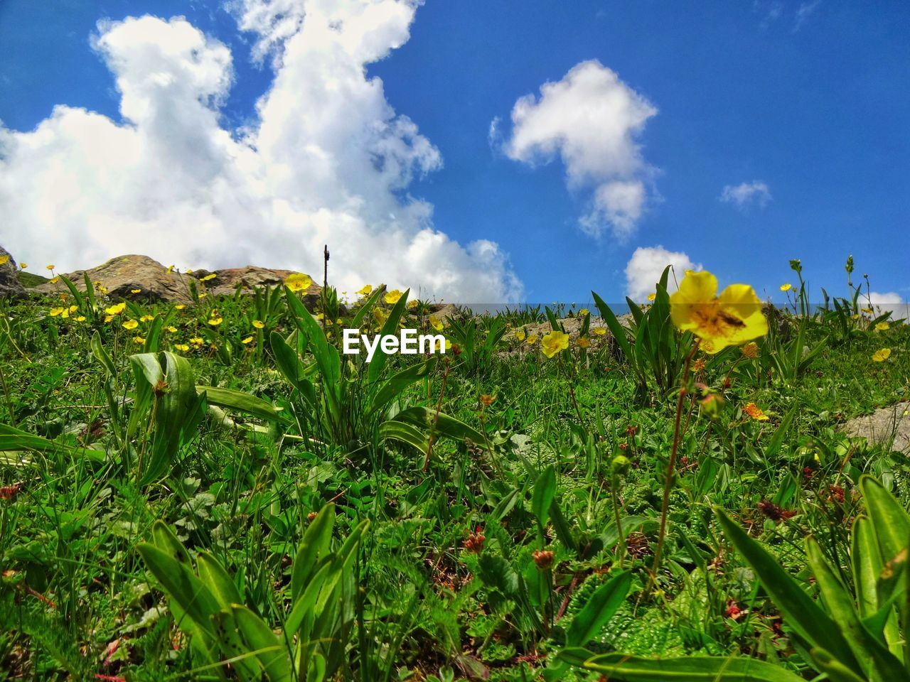 plant, growth, flower, flowering plant, beauty in nature, sky, cloud - sky, green color, field, nature, land, yellow, tranquility, day, freshness, no people, landscape, tranquil scene, fragility, plant part, outdoors, flower head