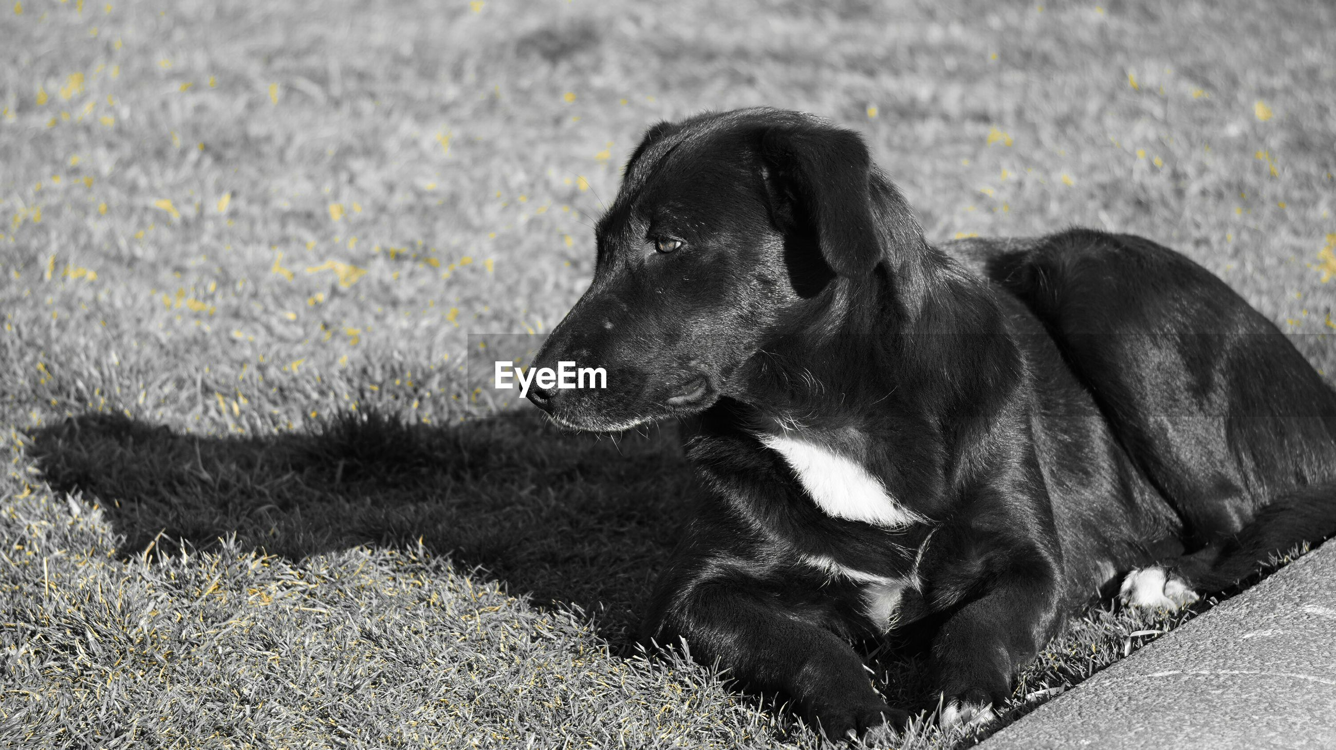 animal themes, mammal, one animal, domestic animals, pets, dog, relaxation, black color, lying down, resting, sleeping, field, high angle view, day, no people, outdoors, eyes closed, animal head, grass, close-up