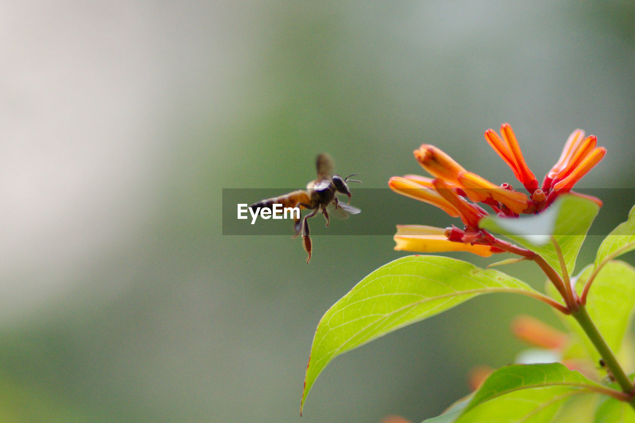 Close-Up Of Bee Flying By Buds On Plant