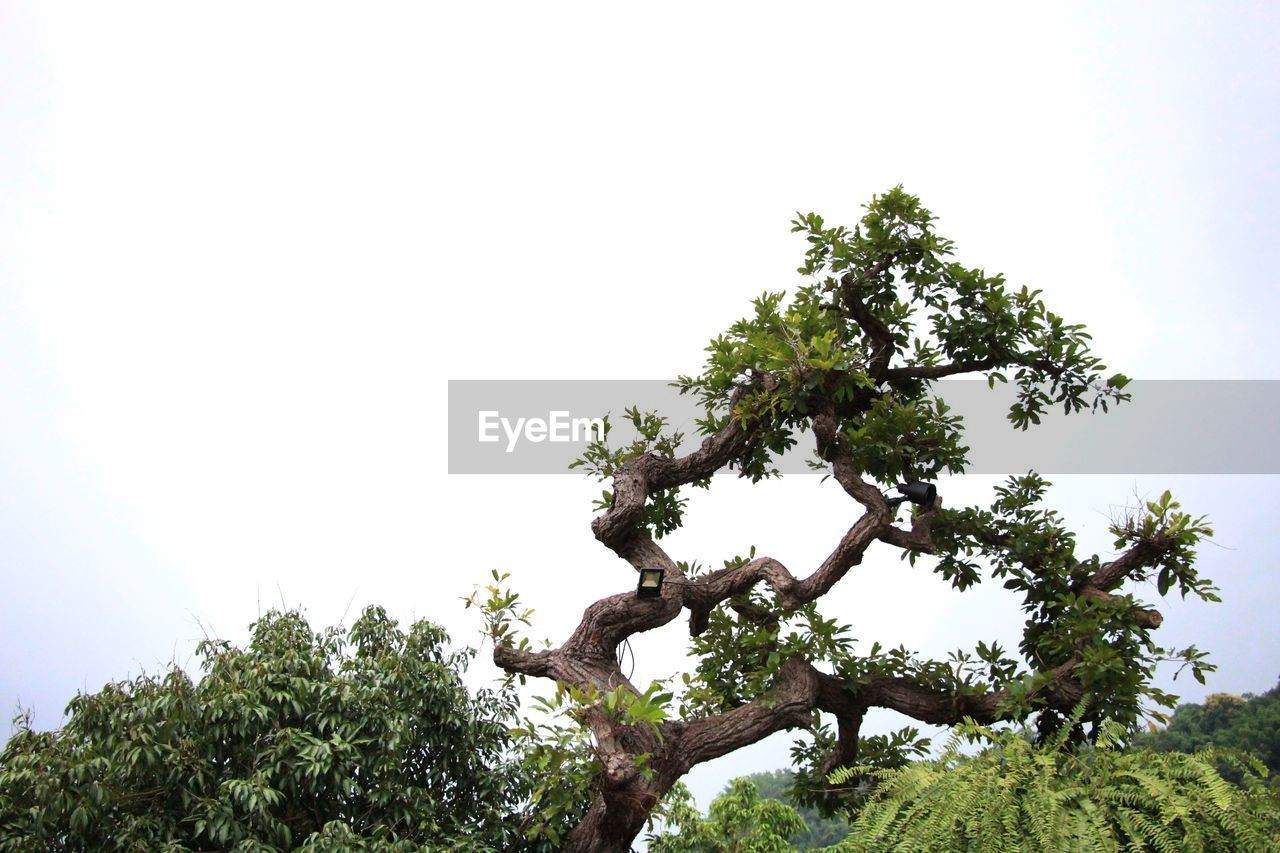 plant, tree, sky, growth, nature, clear sky, beauty in nature, day, low angle view, branch, tranquility, outdoors, no people, green color, tree trunk, trunk, copy space, scenics - nature, environment, green