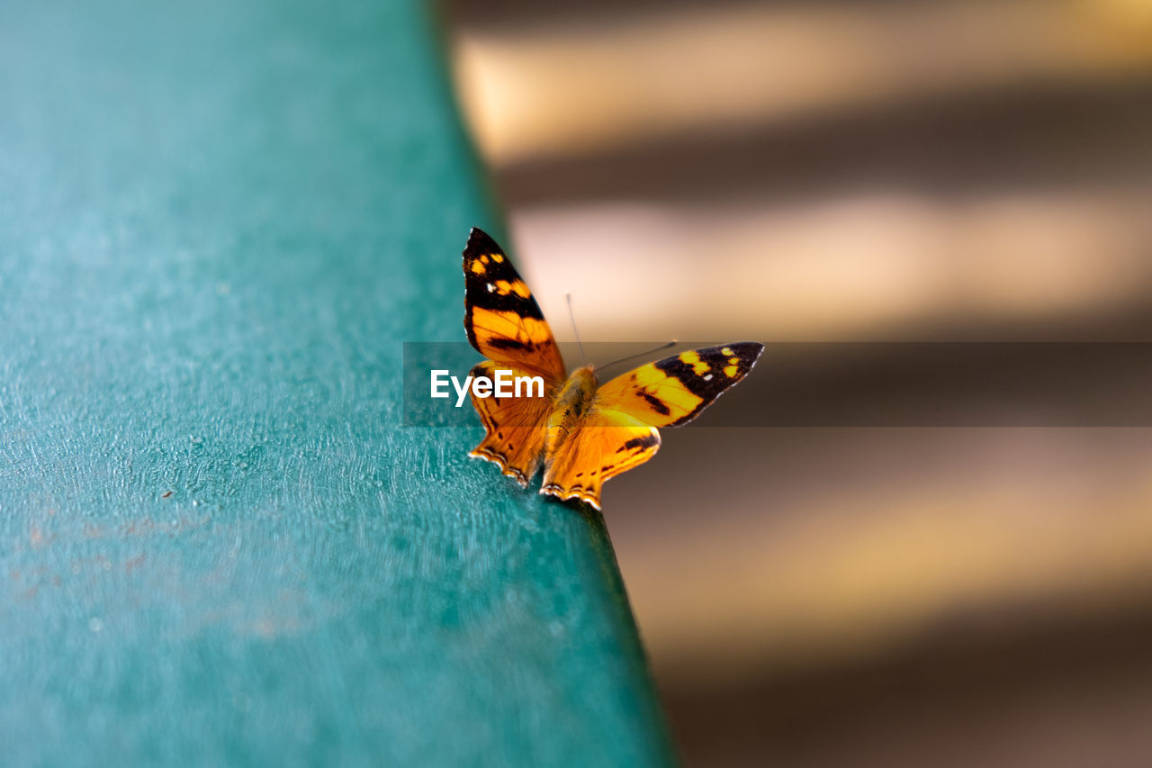 animal wildlife, insect, animal themes, animal, animals in the wild, invertebrate, one animal, selective focus, beauty in nature, close-up, animal wing, orange color, butterfly - insect, no people, day, nature, outdoors, animal markings, yellow, animal body part, butterfly