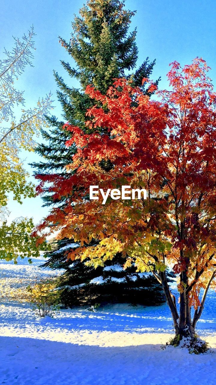 tree, nature, autumn, beauty in nature, winter, tranquility, snow, cold temperature, change, tranquil scene, scenics, branch, outdoors, no people, growth, day, landscape, leaf, sky, clear sky, maple, close-up