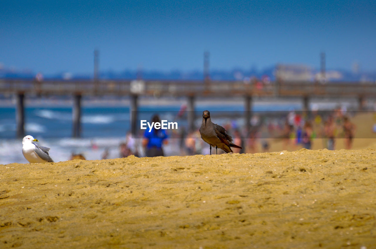 animal, animal themes, bird, vertebrate, animal wildlife, animals in the wild, water, group of animals, sky, nature, selective focus, perching, focus on foreground, beach, seagull, land, sea, clear sky, outdoors, no people