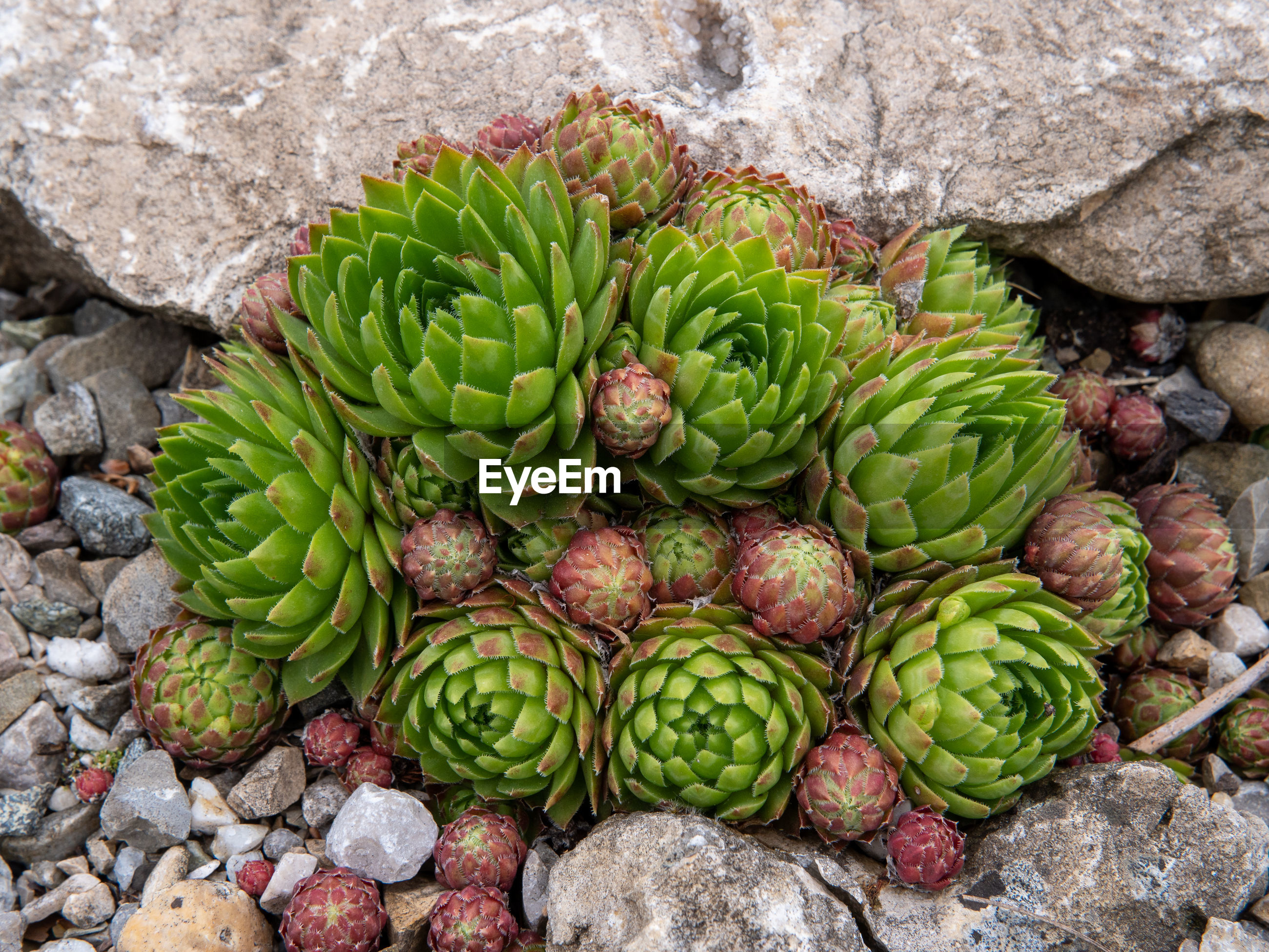 CLOSE-UP OF GREEN FRUITS ON ROCK