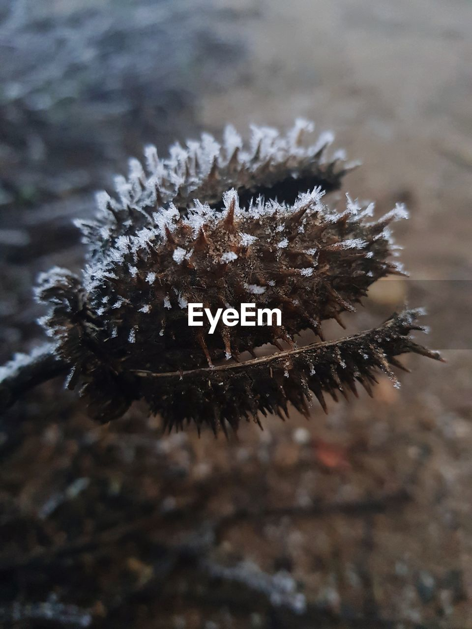 focus on foreground, close-up, no people, nature, day, plant, outdoors, high angle view, land, winter, cold temperature, beauty in nature, field, animal, spiked, brown, tranquility, one animal, snow, spiky, dried
