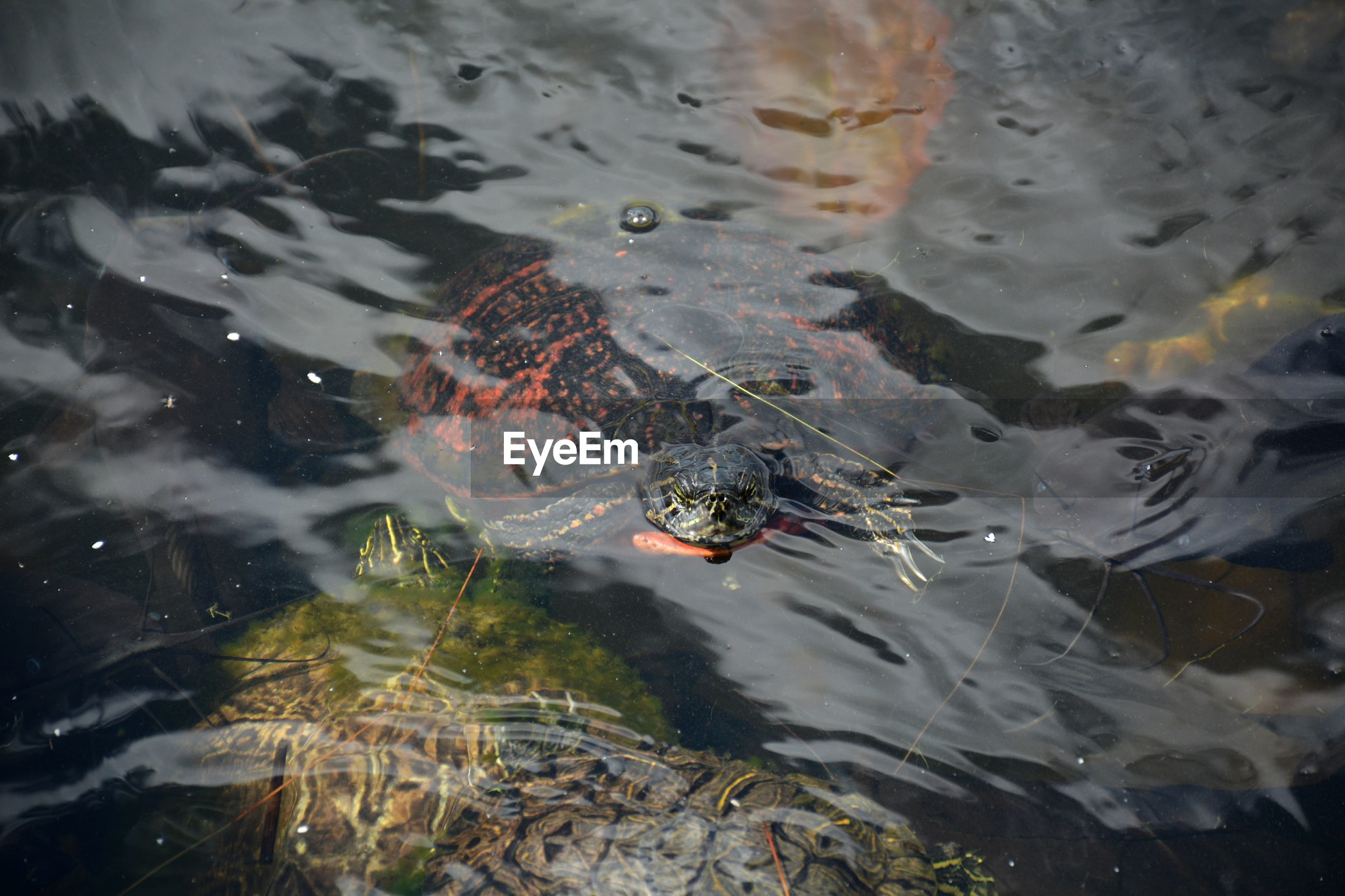 Florida red-bellied cooters or florida red belly turtle submerged in water