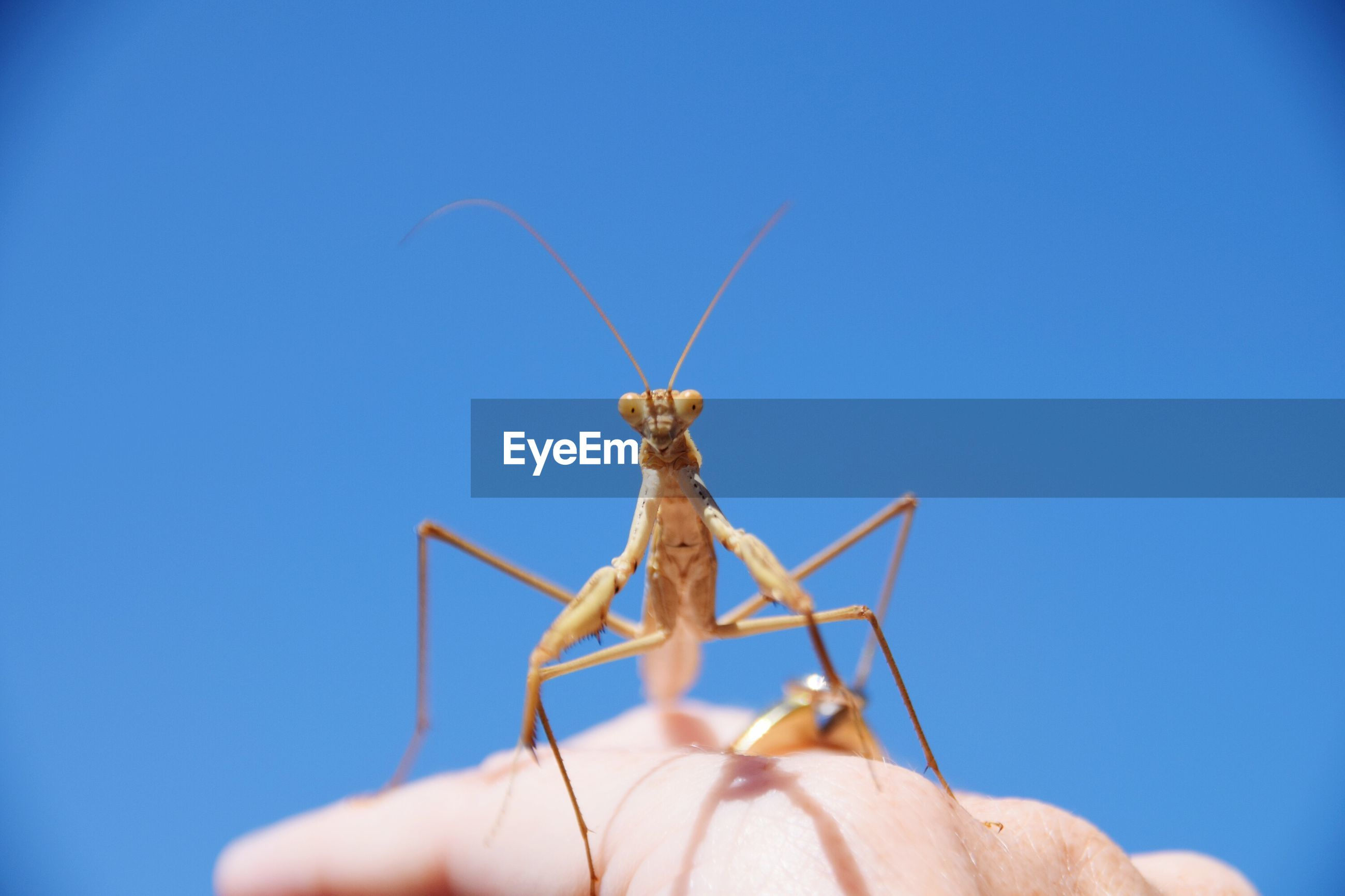 Cropped hand holding praying mantis against clear blue sky