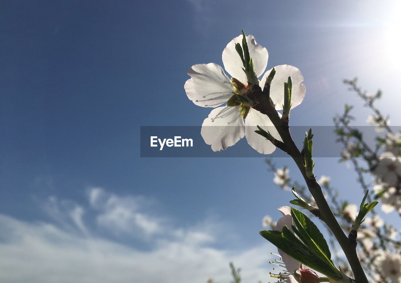 flower, flowering plant, beauty in nature, plant, fragility, freshness, sky, vulnerability, white color, growth, petal, nature, flower head, inflorescence, low angle view, close-up, blossom, no people, day, cloud - sky, outdoors, springtime, cherry blossom