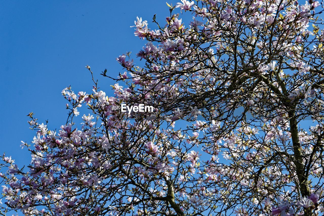 tree, plant, low angle view, growth, branch, beauty in nature, blossom, sky, flowering plant, flower, fragility, springtime, freshness, vulnerability, nature, day, clear sky, no people, fruit tree, blue, cherry blossom, outdoors, cherry tree, spring