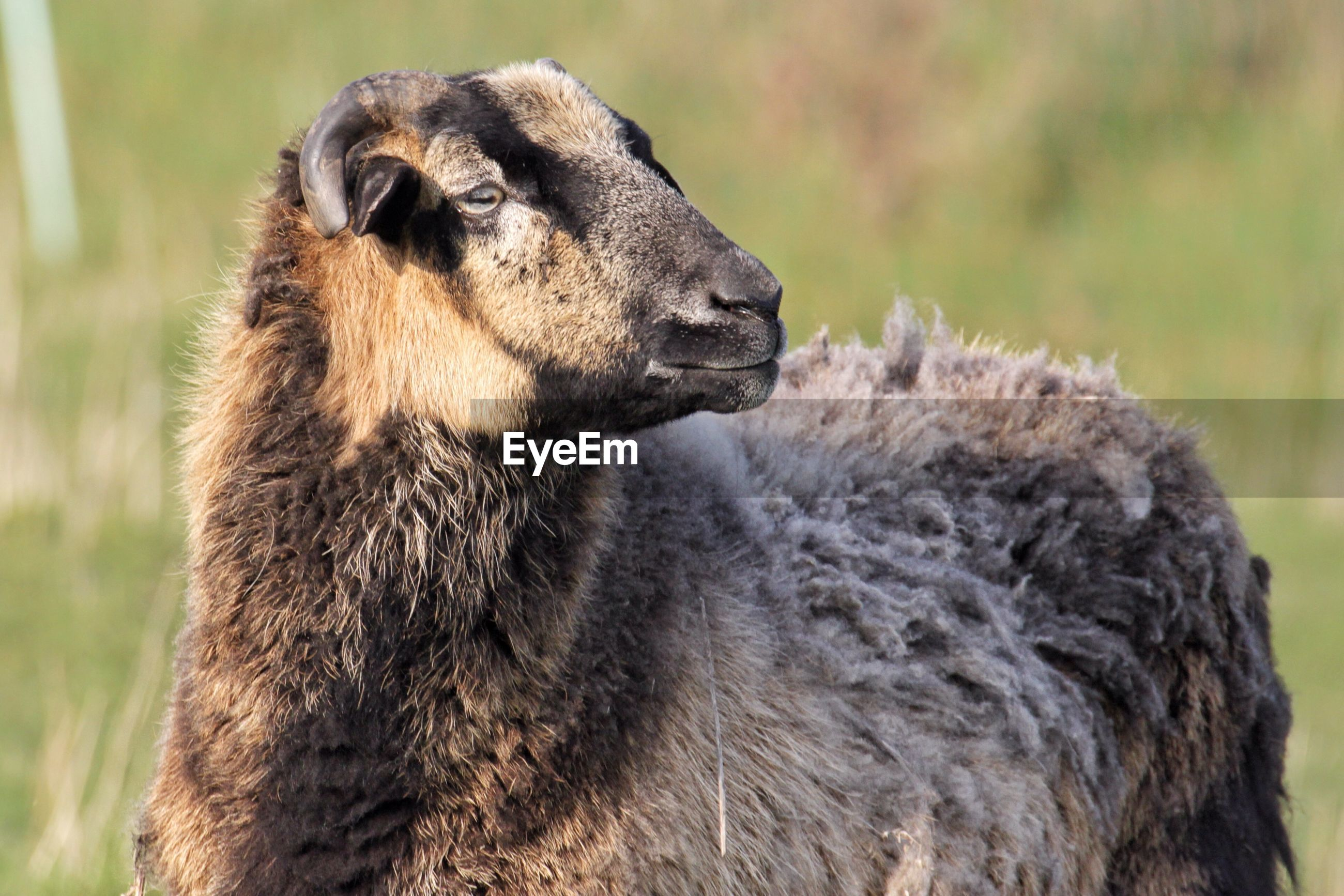 Close-up of horned sheep looking away