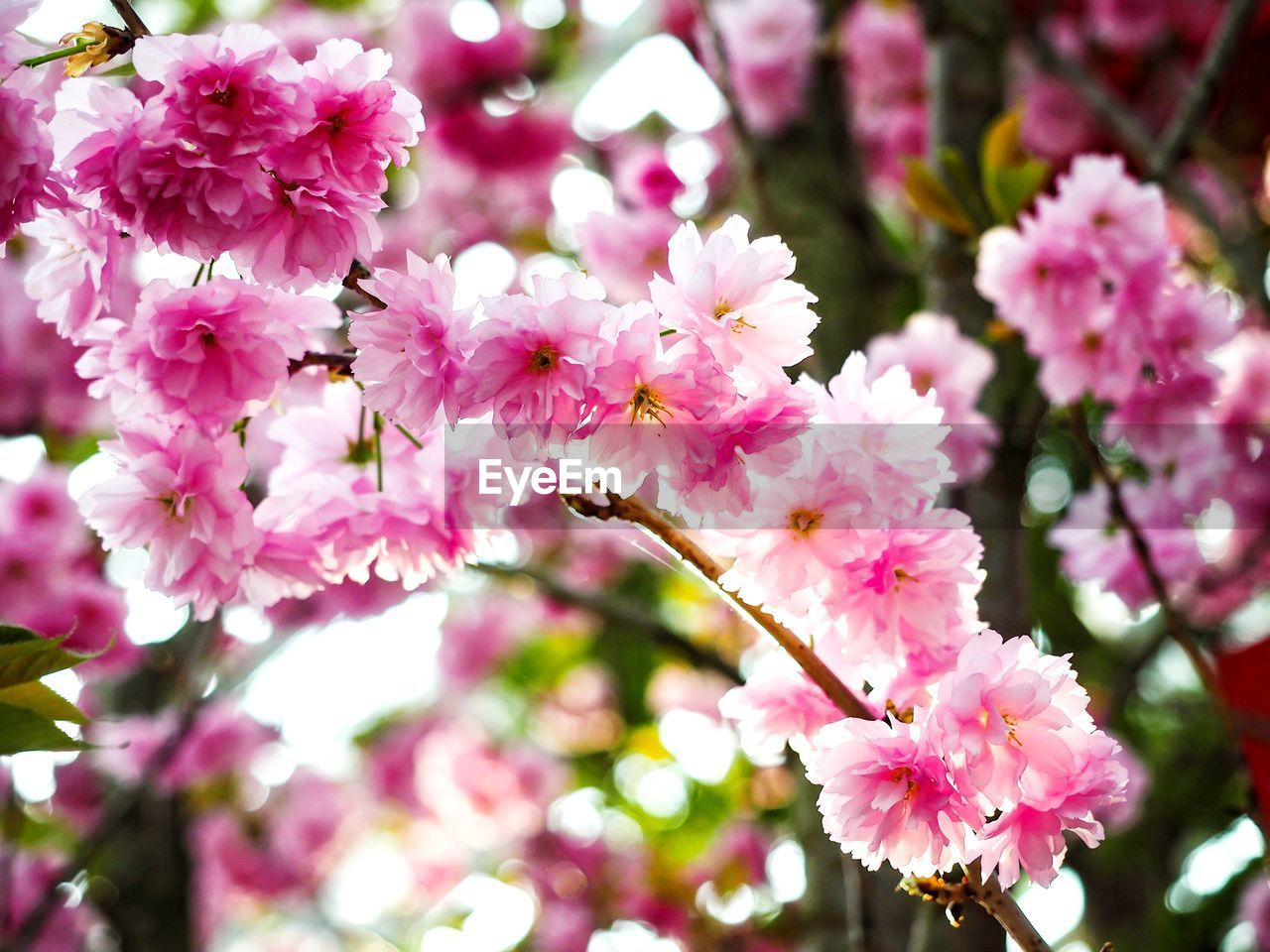 flower, flowering plant, plant, freshness, vulnerability, fragility, pink color, growth, beauty in nature, petal, close-up, flower head, inflorescence, blossom, springtime, day, tree, botany, branch, focus on foreground, no people, outdoors, pollen, cherry blossom, spring, cherry tree