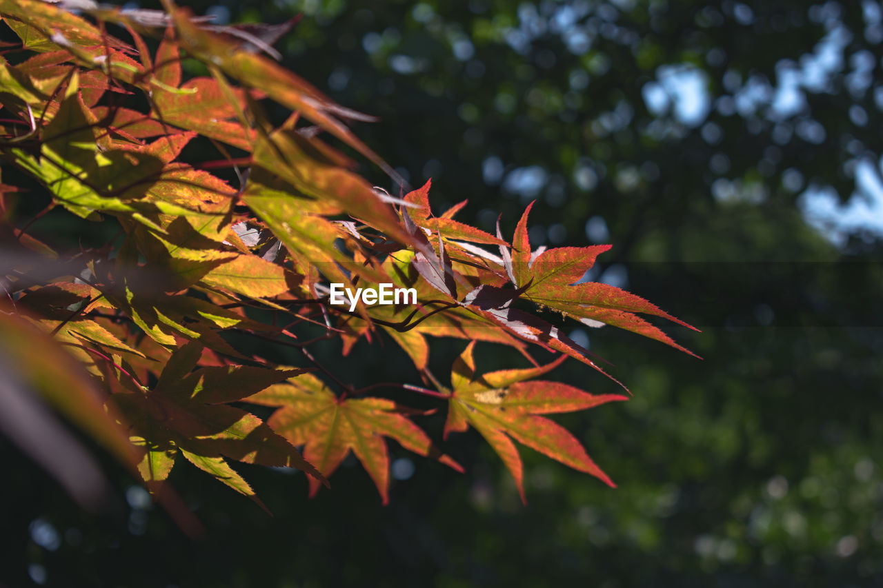 leaf, plant part, plant, autumn, growth, beauty in nature, change, nature, tree, focus on foreground, no people, close-up, orange color, day, branch, maple leaf, leaves, selective focus, outdoors, maple tree, autumn collection, fall, natural condition