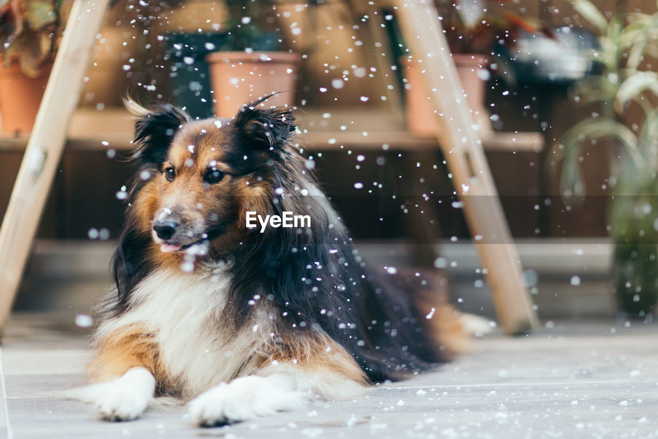 Close-Up Of Dog Sitting Outdoors While Snowing