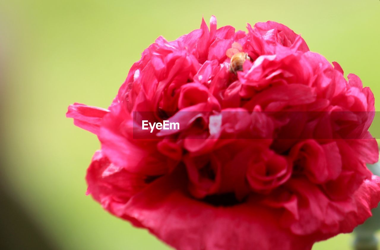 flower, petal, fragility, beauty in nature, nature, flower head, freshness, rose - flower, growth, close-up, red, no people, pink color, plant, blooming, outdoors, peony, day
