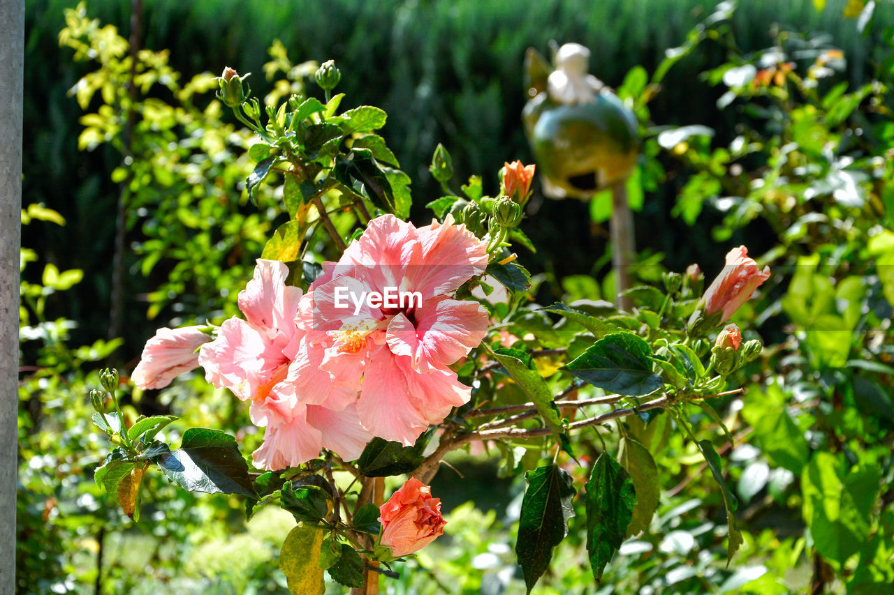 flowering plant, flower, plant, beauty in nature, growth, freshness, fragility, vulnerability, pink color, petal, close-up, inflorescence, plant part, leaf, flower head, day, nature, focus on foreground, sunlight, green color, no people, outdoors, pollen, spring