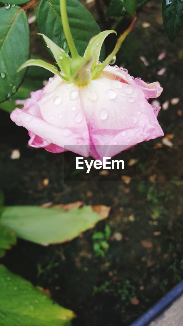 flower, petal, growth, fragility, nature, beauty in nature, freshness, drop, flower head, plant, water, pink color, close-up, day, wet, outdoors, no people, blooming, leaf, periwinkle