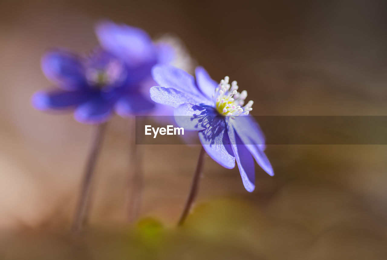 flowering plant, flower, fragility, vulnerability, plant, purple, freshness, petal, close-up, beauty in nature, flower head, inflorescence, nature, blue, selective focus, no people, growth, botany, pollen, outdoors