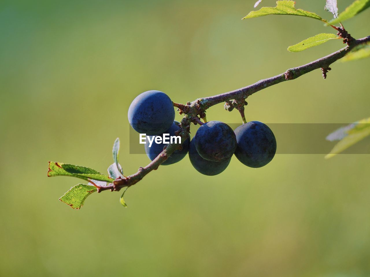 growth, plant, fruit, nature, healthy eating, food and drink, no people, focus on foreground, food, close-up, freshness, tree, day, branch, berry fruit, green color, outdoors, wellbeing, beauty in nature, plant part
