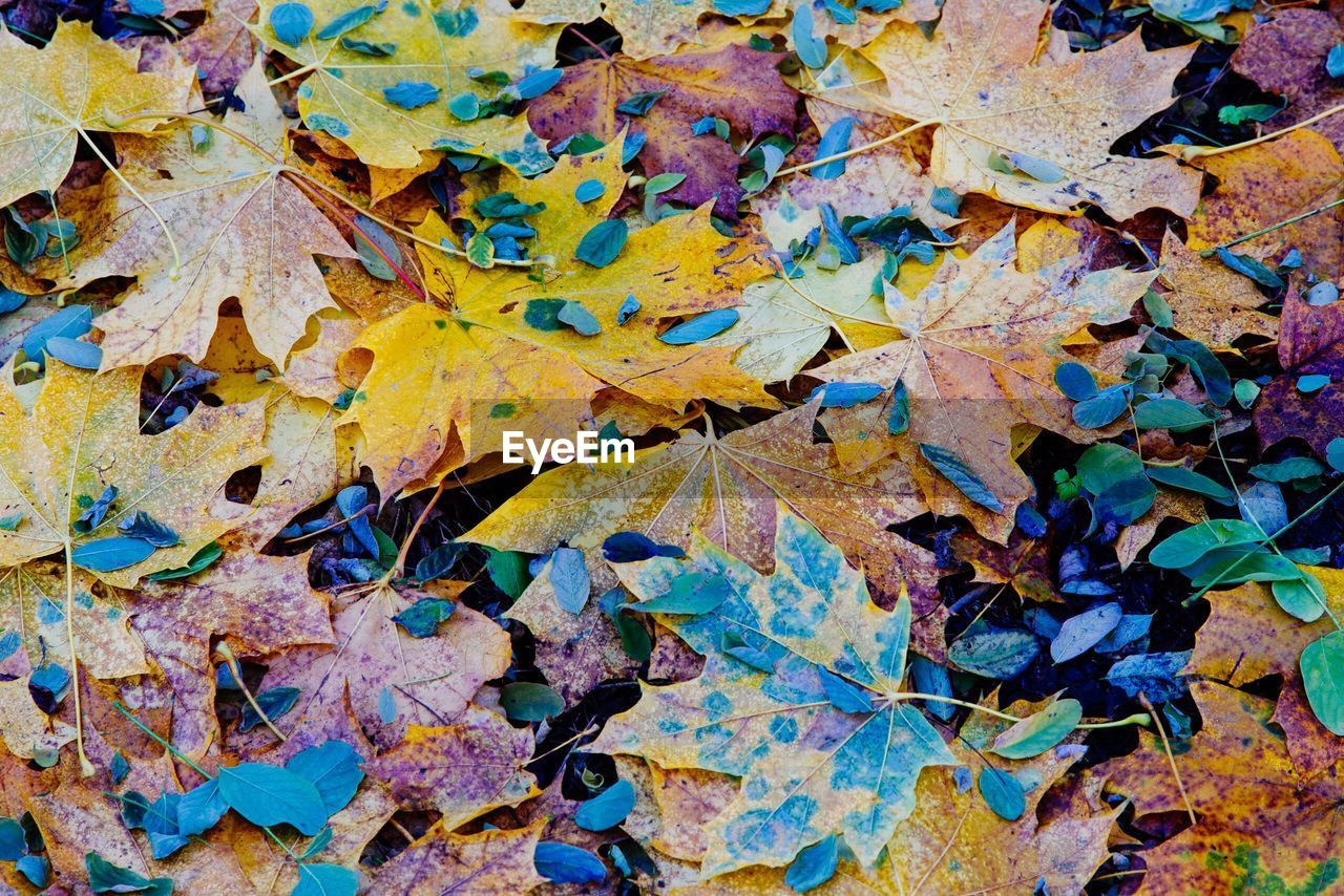 autumn, leaf, change, dry, backgrounds, abundance, day, full frame, outdoors, no people, close-up, large group of objects, maple leaf, nature, multi colored, fragility, maple