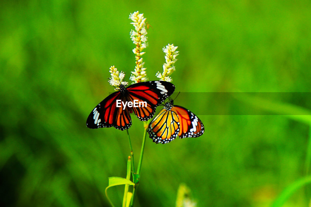 animal themes, animal wildlife, animal, animals in the wild, insect, invertebrate, one animal, beauty in nature, flower, flowering plant, close-up, plant, fragility, vulnerability, animal wing, green color, butterfly - insect, no people, focus on foreground, nature, flower head, pollination, outdoors, butterfly