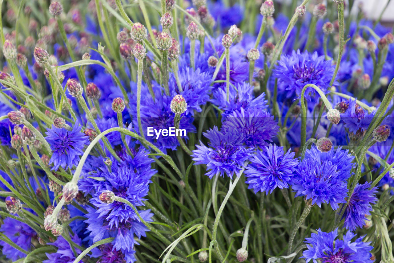 flowering plant, flower, freshness, vulnerability, plant, fragility, close-up, beauty in nature, growth, petal, blue, purple, nature, inflorescence, flower head, no people, day, field, land, botany, springtime, flowerbed