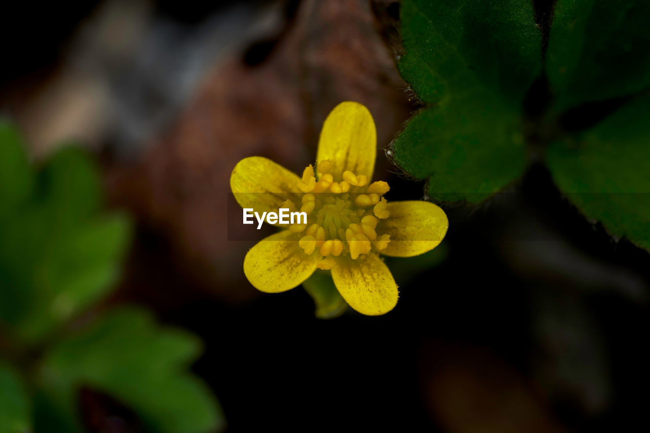 plant, growth, flower, beauty in nature, flowering plant, yellow, close-up, fragility, vulnerability, freshness, petal, inflorescence, flower head, selective focus, nature, leaf, plant part, no people, green color, day, outdoors, pollen