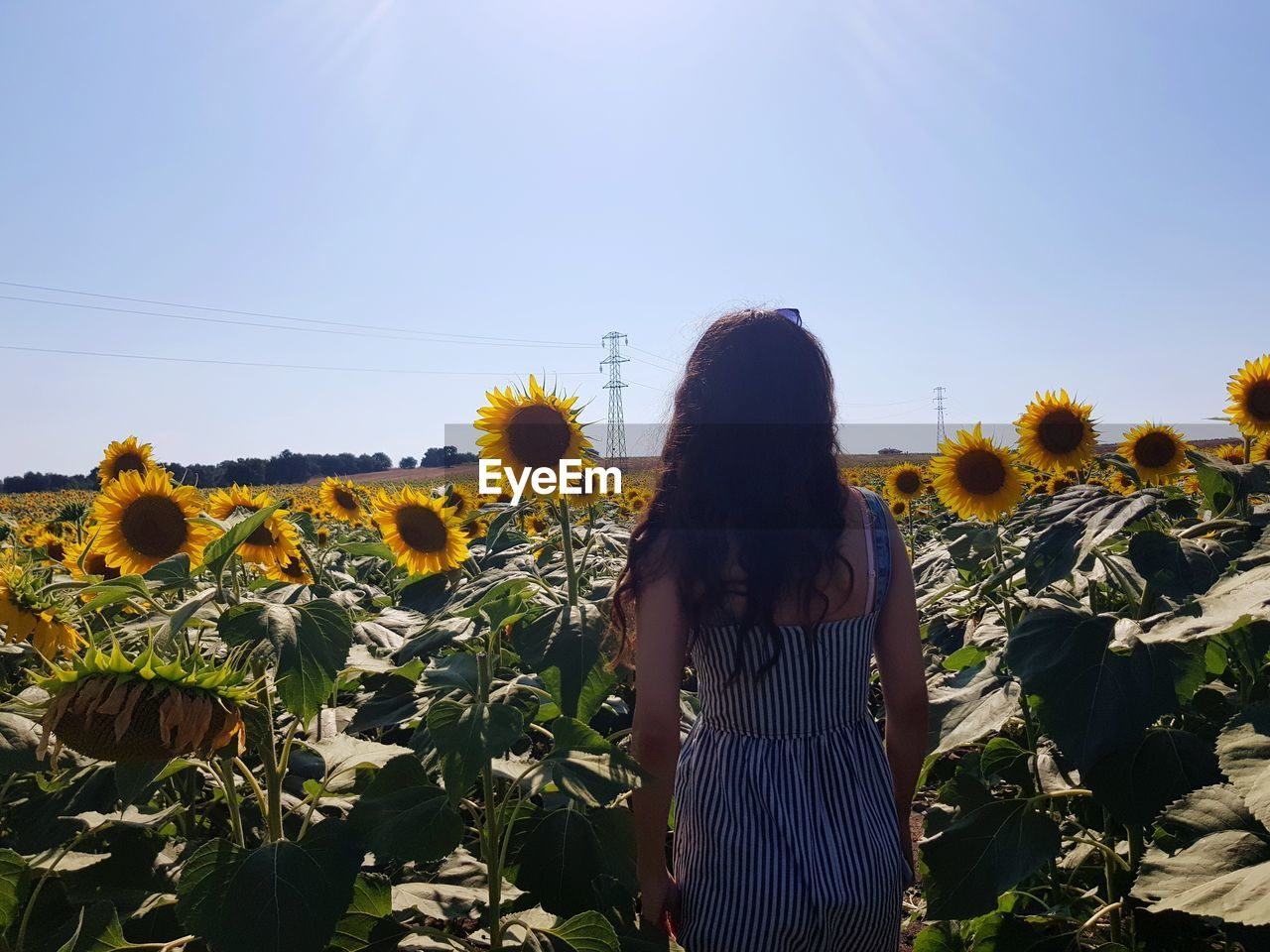 Rear View Of Woman Standing At Sunflower Farm Against Clear Blue Sky