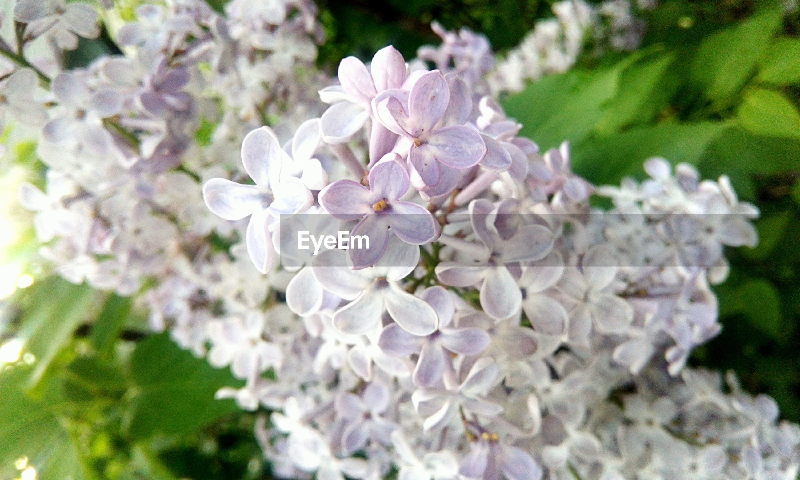 flower, flowering plant, plant, fragility, vulnerability, beauty in nature, growth, petal, freshness, nature, inflorescence, flower head, white color, close-up, day, focus on foreground, lilac, blossom, no people, outdoors, purple, bunch of flowers, spring