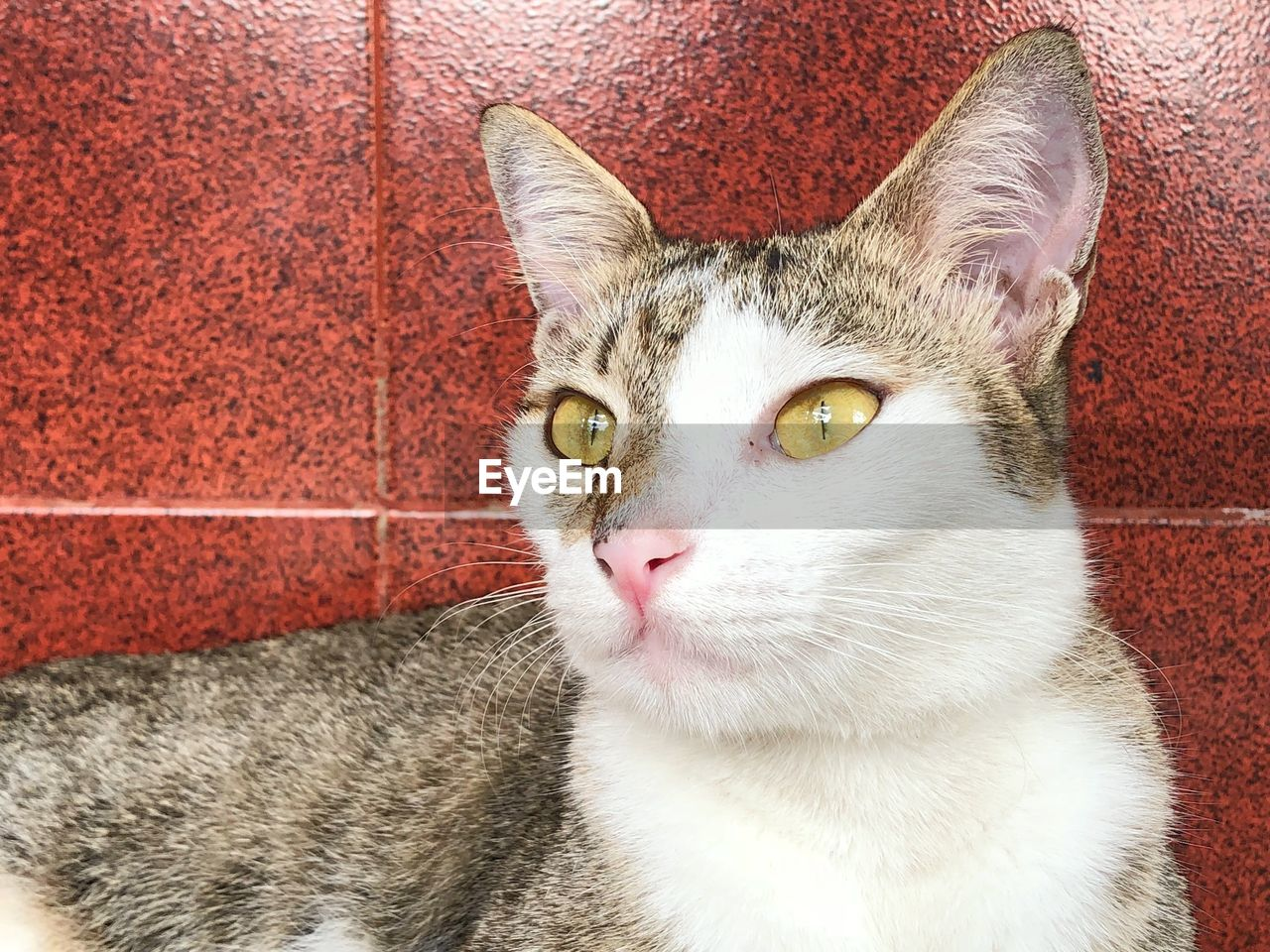 cat, domestic cat, domestic, feline, domestic animals, pets, mammal, one animal, vertebrate, portrait, close-up, looking at camera, indoors, whisker, no people, relaxation, looking, animal eye, tabby, yellow eyes