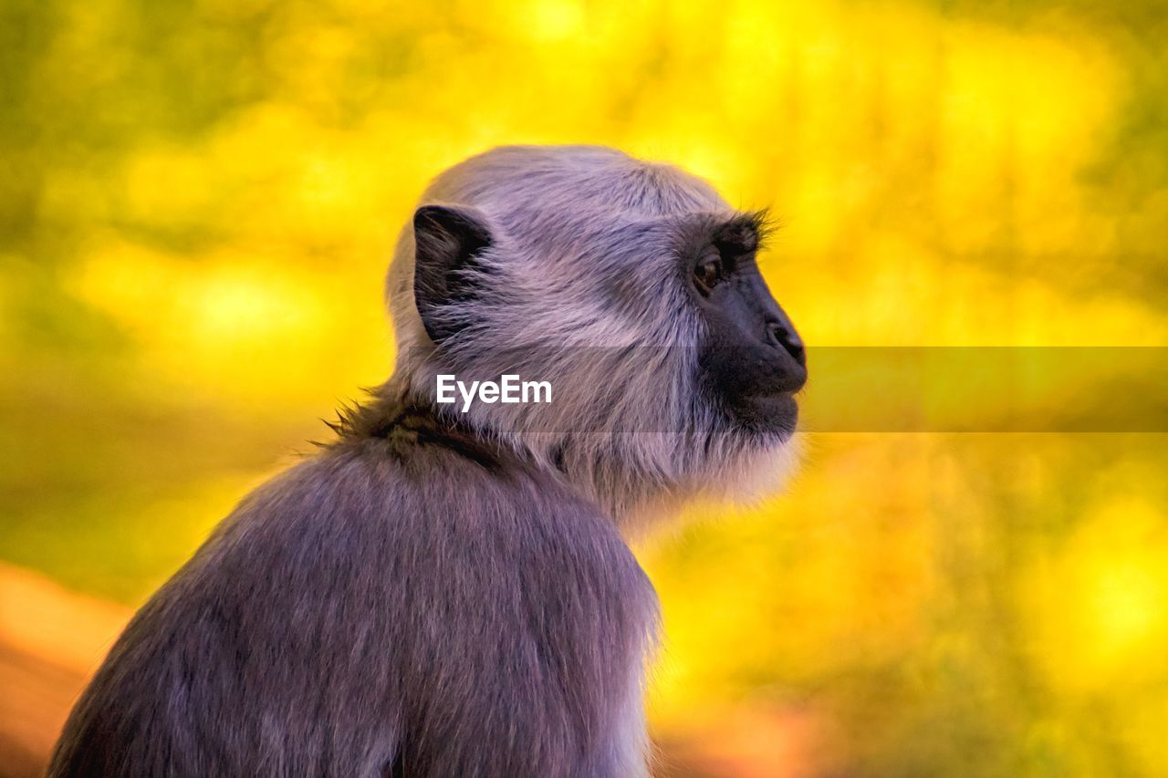 primate, monkey, animal, animal themes, animal wildlife, mammal, animals in the wild, one animal, vertebrate, focus on foreground, looking, no people, looking away, nature, close-up, ape, outdoors, day, tree, forest, animal head, baboon, profile view