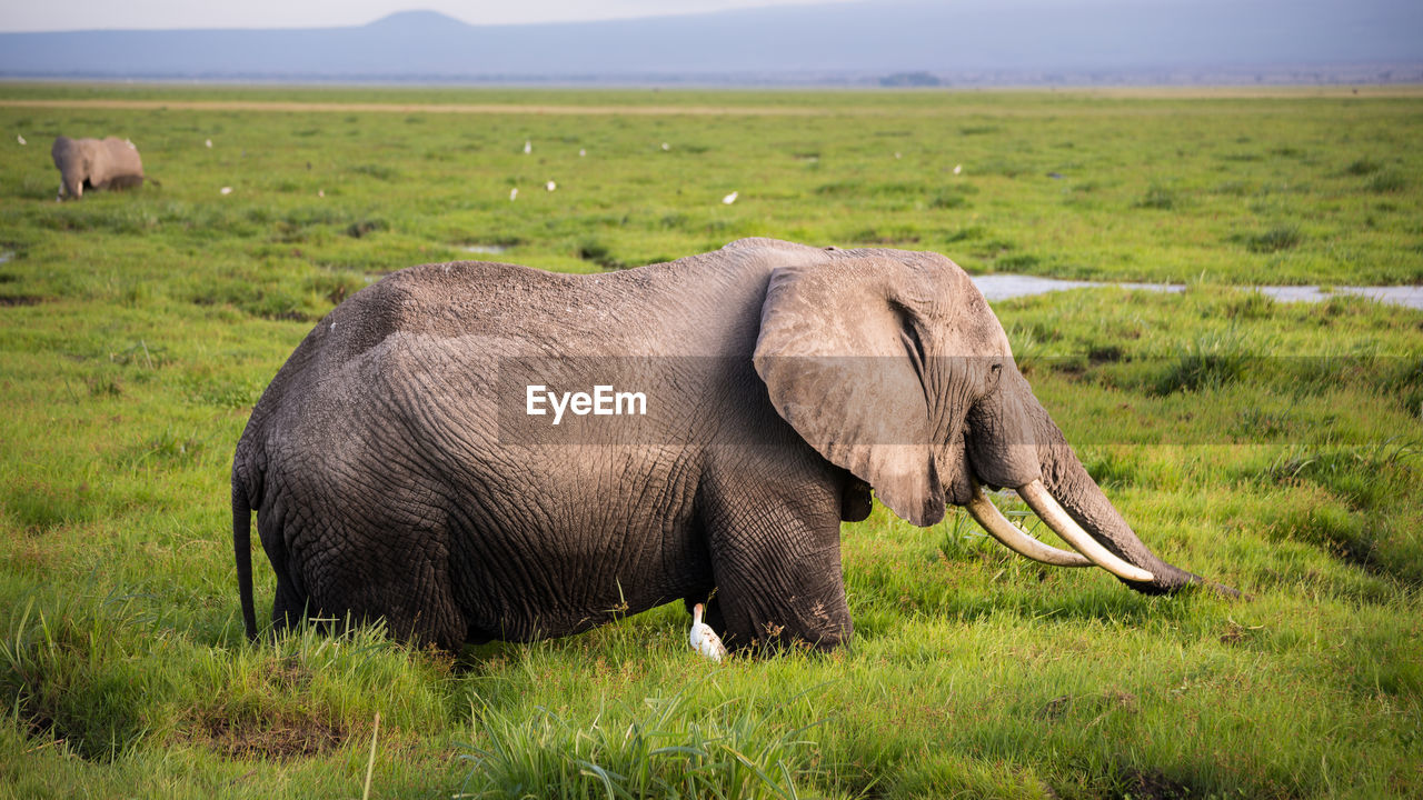 Side View Of Elephant Standing In Field