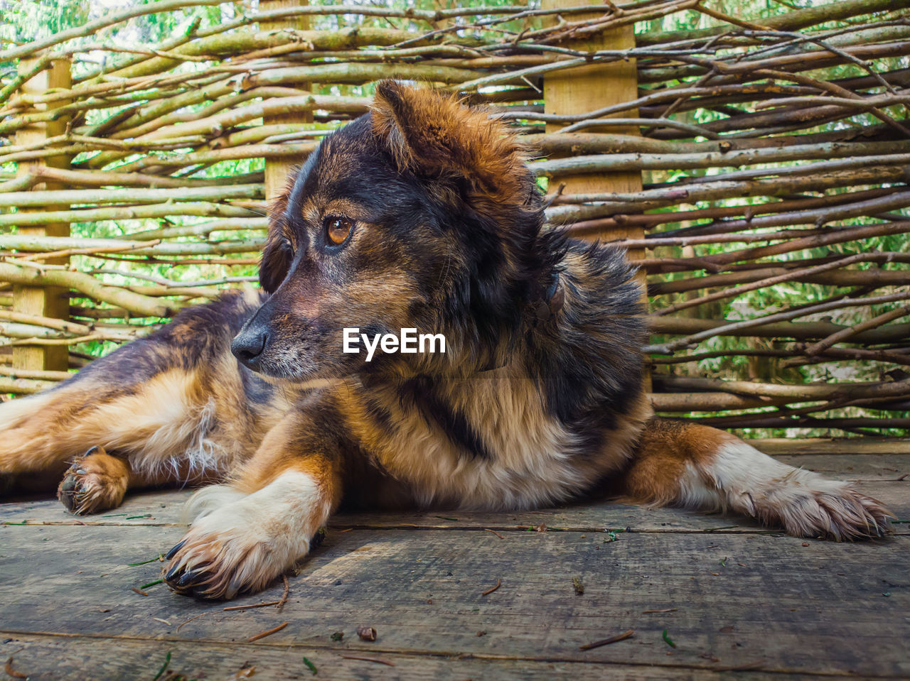 animal themes, mammal, one animal, animal, vertebrate, relaxation, domestic animals, domestic, pets, canine, no people, dog, wood - material, resting, day, lying down, brown, outdoors, close-up, looking away, animal head