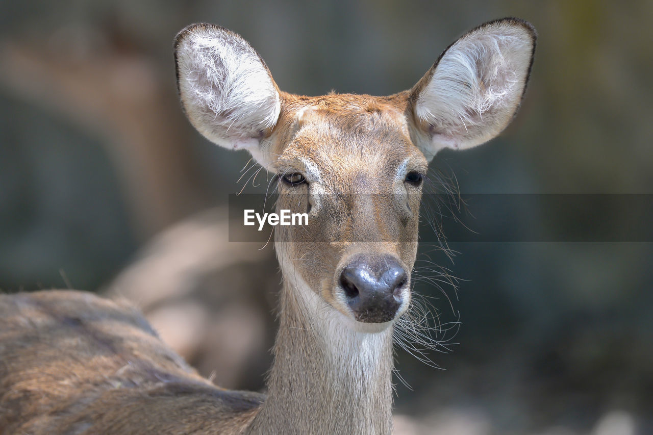 one animal, mammal, focus on foreground, animals in the wild, animal wildlife, close-up, vertebrate, looking at camera, portrait, animal body part, domestic animals, no people, day, herbivorous, outdoors, deer, animal mouth