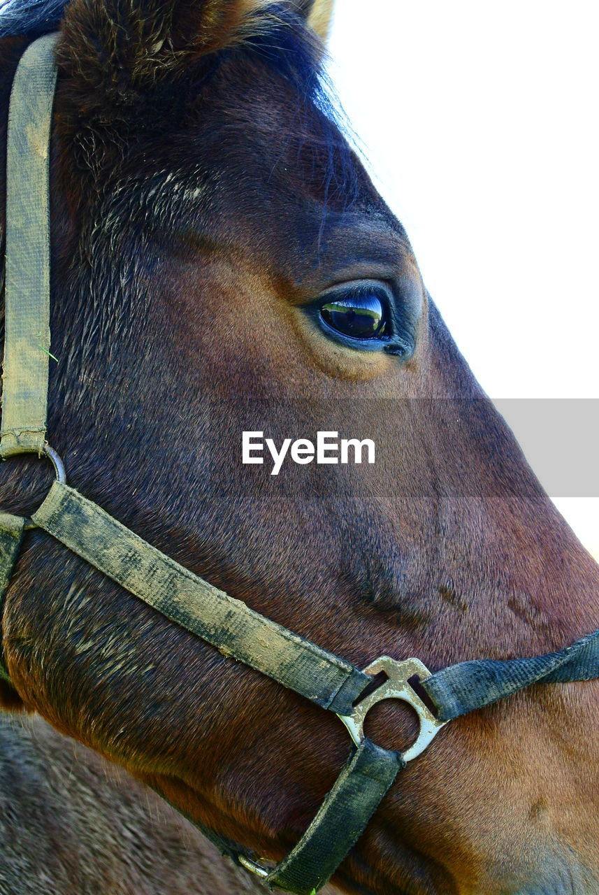 domestic animals, animal themes, horse, mammal, one animal, animal head, close-up, brown, no people, day, livestock, outdoors
