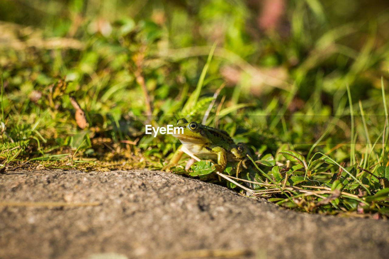 one animal, animal themes, animal, animals in the wild, animal wildlife, selective focus, green color, vertebrate, no people, day, reptile, grass, nature, close-up, plant, amphibian, outdoors, frog, lizard, field, surface level