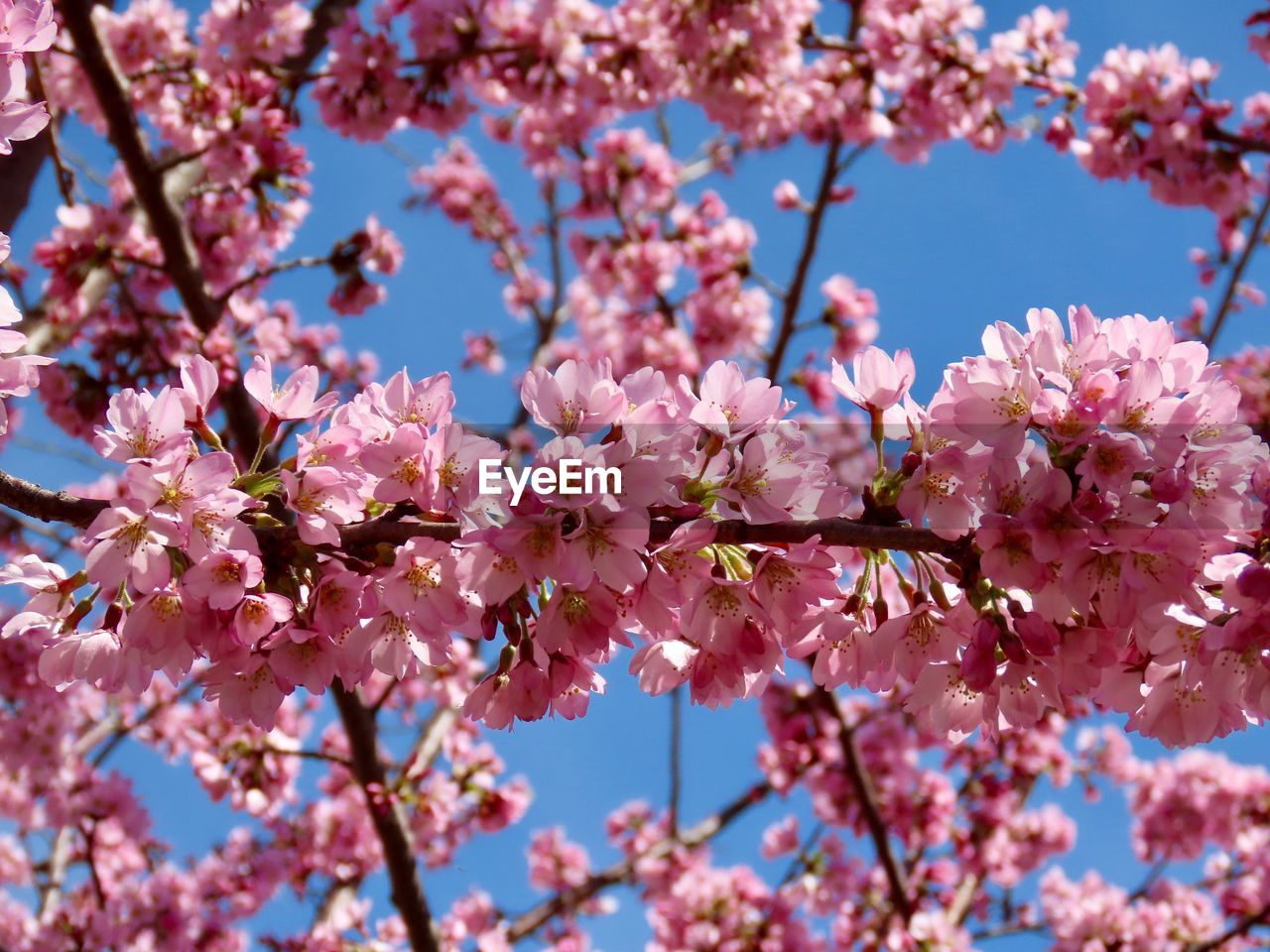 flowering plant, flower, pink color, fragility, plant, freshness, vulnerability, tree, springtime, growth, blossom, beauty in nature, branch, cherry blossom, close-up, nature, low angle view, day, petal, no people, cherry tree, flower head, outdoors, plum blossom, pollen, spring, bunch of flowers