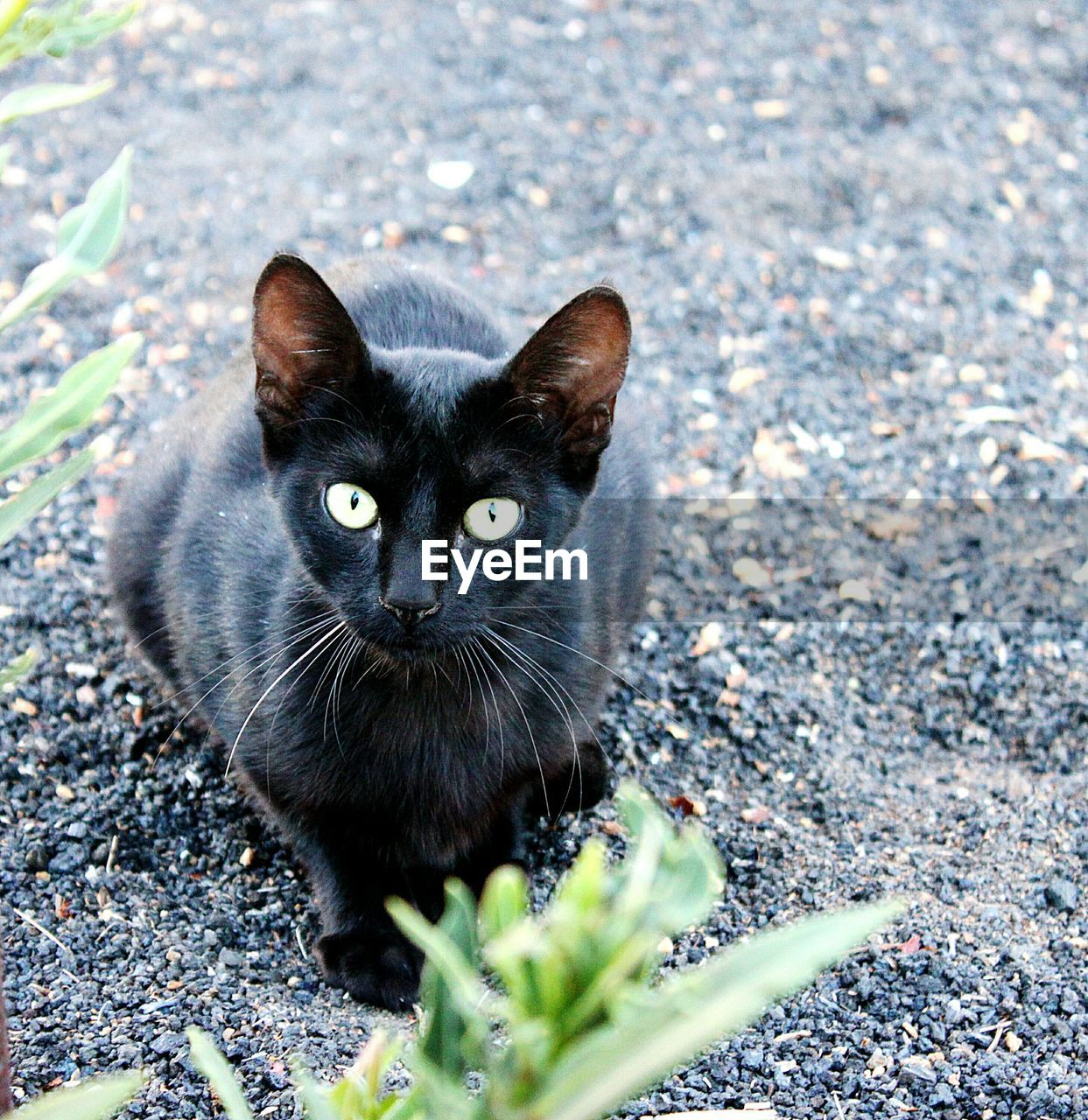 domestic cat, looking at camera, one animal, animal themes, pets, feline, domestic animals, portrait, mammal, black color, whisker, outdoors, day, yellow eyes, nature, no people, siamese cat, close-up