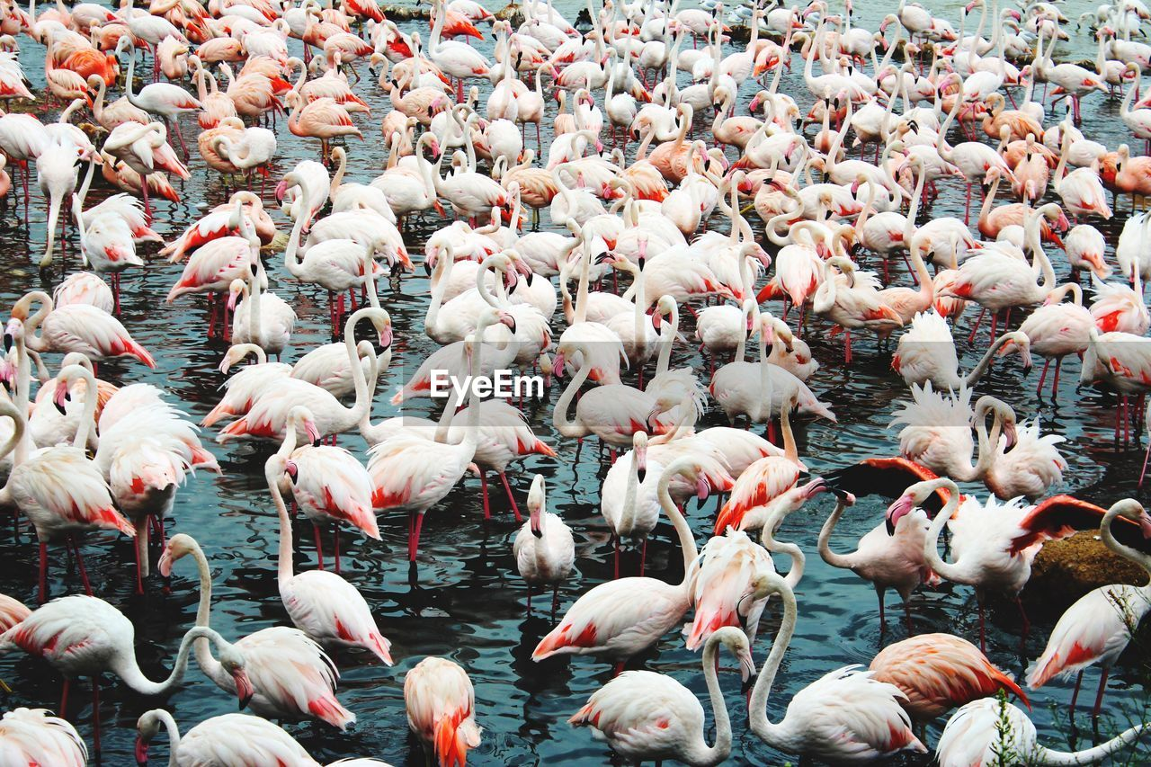 High Angle View Of Flamingoes In Lake