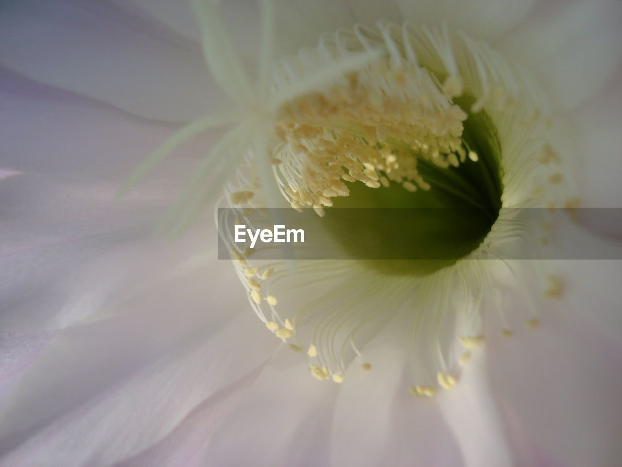 Extreme close-up of barrel cactus flower blooming outdoors