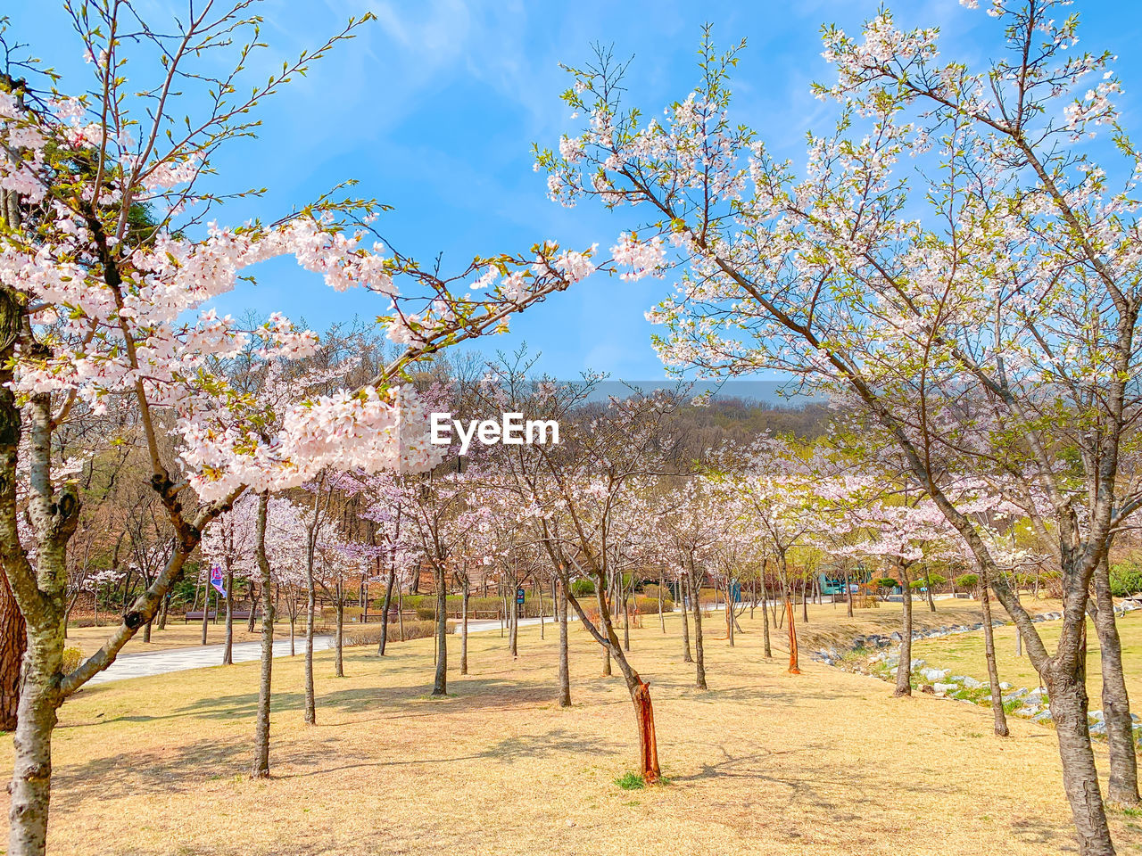 tree, plant, beauty in nature, nature, growth, sky, tranquility, branch, day, blossom, flowering plant, flower, springtime, tranquil scene, scenics - nature, sunlight, no people, landscape, park, land, outdoors, cherry blossom, cherry tree