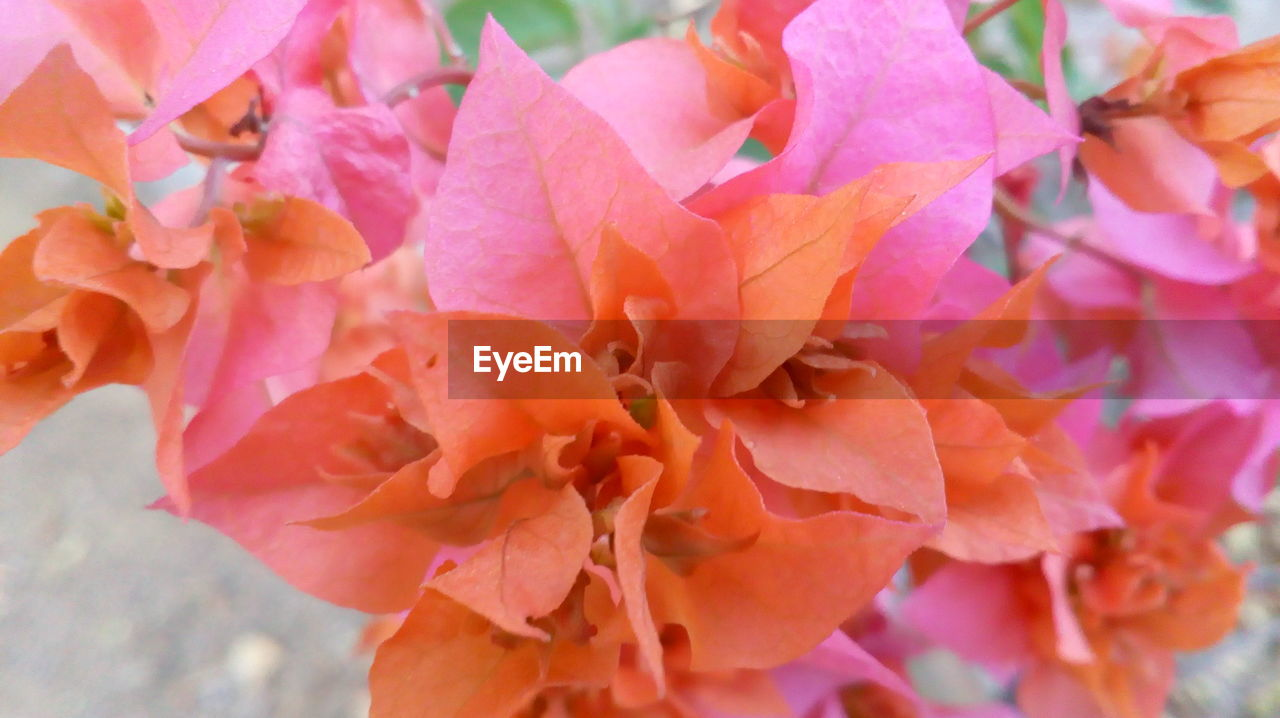 flower, beauty in nature, petal, nature, fragility, pink color, growth, plant, close-up, no people, outdoors, day, flower head, freshness, blooming, bougainvillea