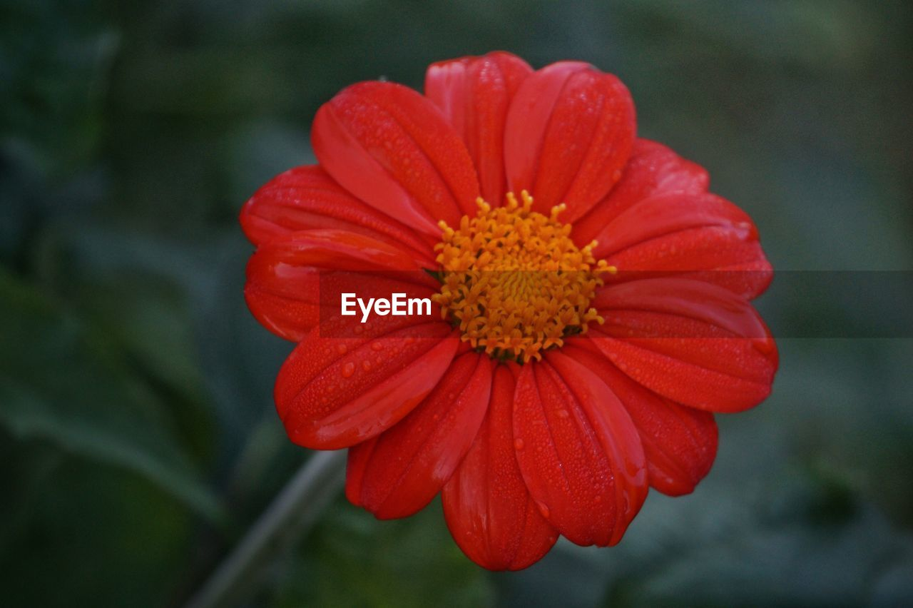 flower, petal, beauty in nature, nature, flower head, freshness, fragility, growth, focus on foreground, blooming, pollen, red, outdoors, plant, no people, zinnia, day, close-up