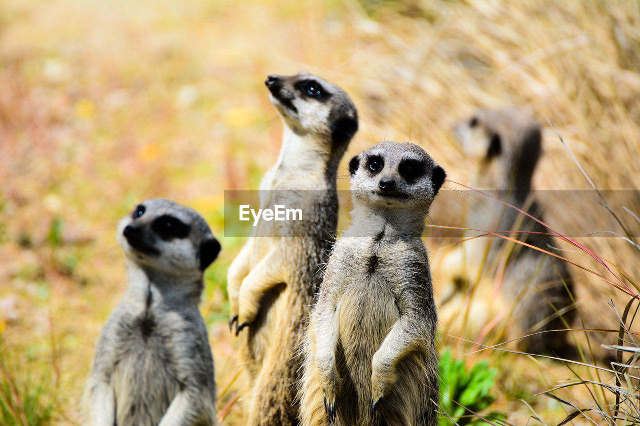 animal themes, animal wildlife, animals in the wild, animal, group of animals, mammal, vertebrate, no people, focus on foreground, meerkat, day, land, nature, field, lemur, two animals, grass, looking, outdoors, zoo
