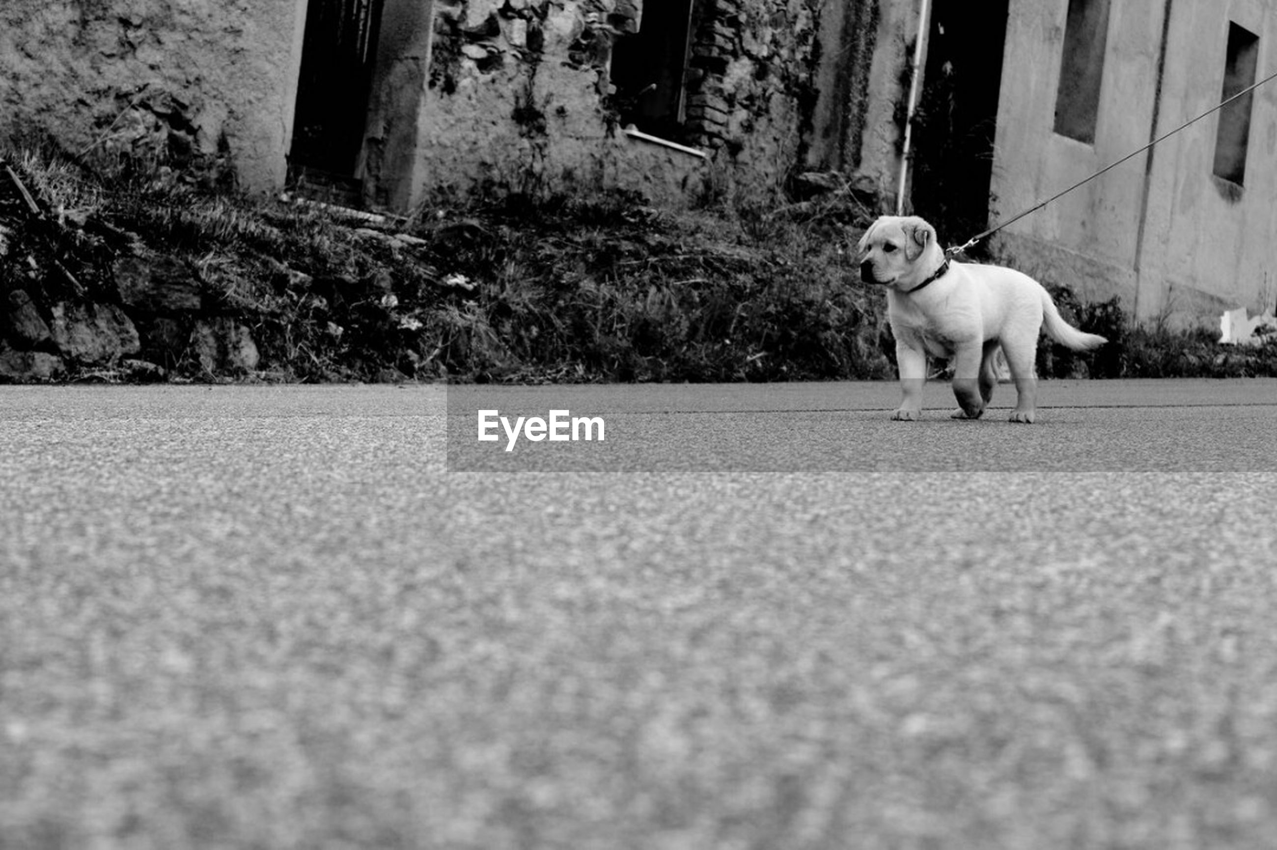 dog, pets, one animal, domestic animals, animal themes, road, mammal, day, puppy, outdoors, no people, full length