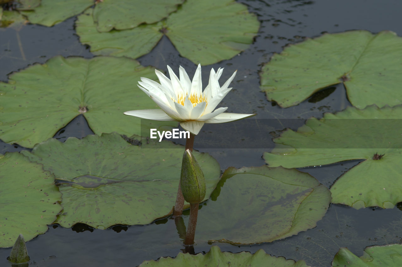 flower, leaf, water lily, pond, beauty in nature, nature, growth, freshness, petal, fragility, lily pad, lotus water lily, green color, flower head, floating on water, plant, lotus, outdoors, day, water, high angle view, no people, blooming, close-up