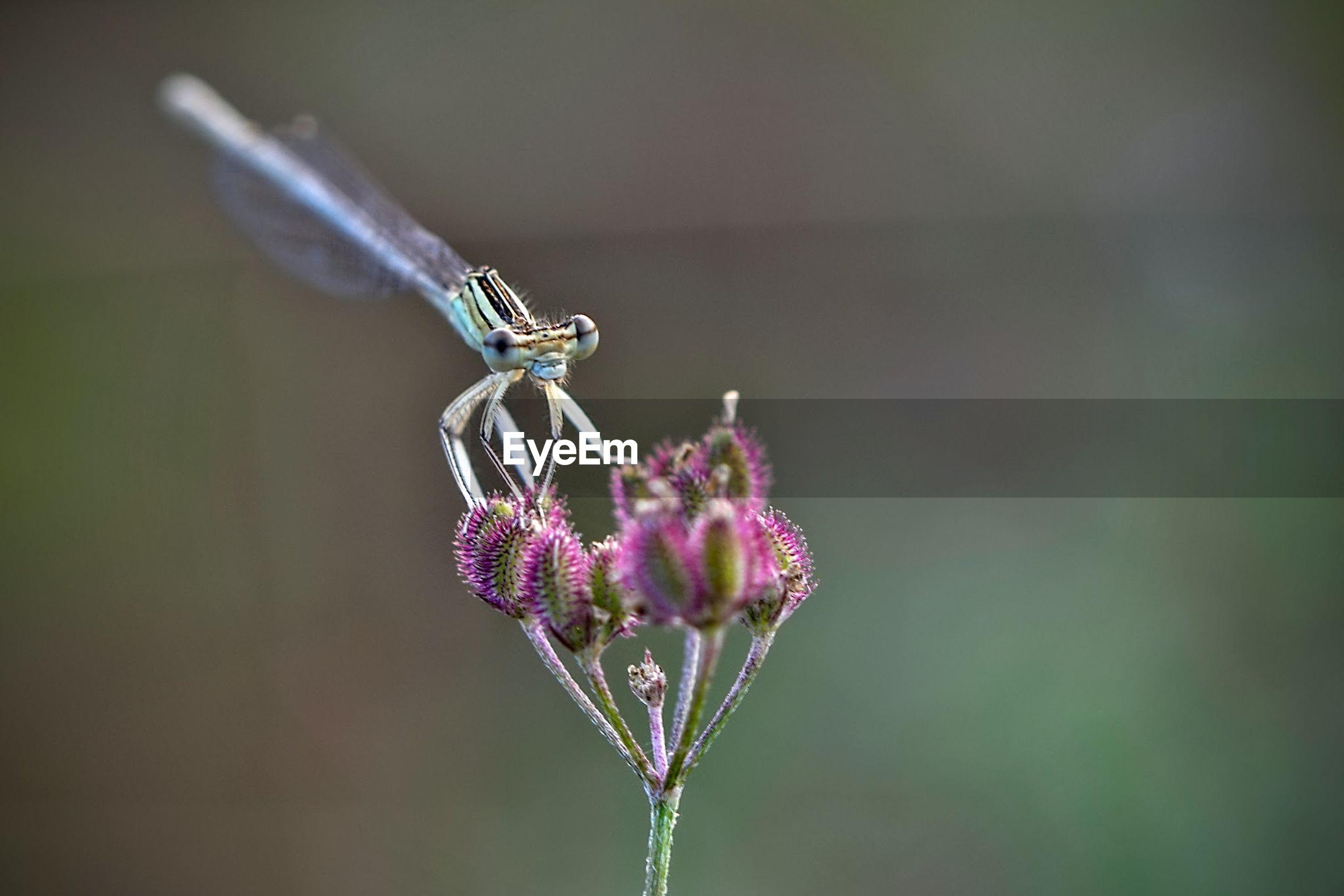 Damselfly on purple flower
