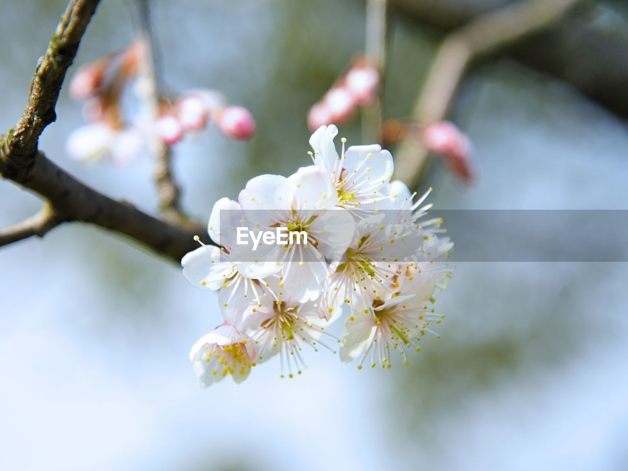 plant, flowering plant, flower, freshness, fragility, beauty in nature, growth, vulnerability, branch, tree, close-up, petal, blossom, springtime, nature, focus on foreground, day, white color, cherry blossom, flower head, pollen, no people, outdoors, plum blossom, cherry tree