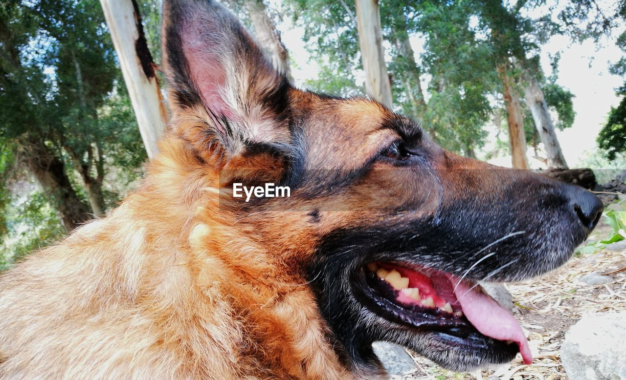 one animal, animal themes, animal, mammal, dog, domestic animals, domestic, canine, pets, vertebrate, animal body part, no people, close-up, land, day, looking, looking away, tree, mouth open, animal head, outdoors, panting, animal teeth, animal tongue, animal mouth