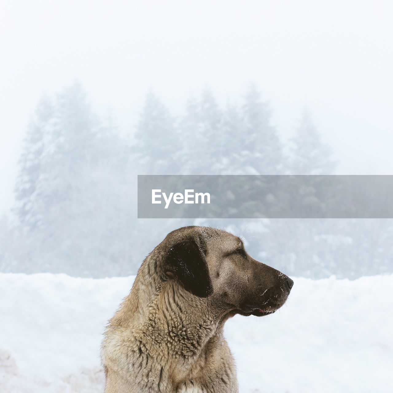 cold temperature, snow, one animal, winter, dog, animal themes, canine, animal, mammal, pets, domestic, domestic animals, vertebrate, nature, looking, day, looking away, focus on foreground, tree, no people, outdoors, snowing, snowcapped mountain, profile view