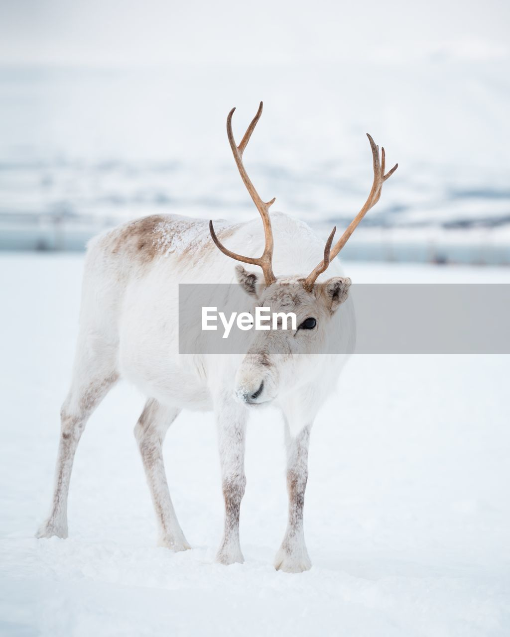 White deer standing on snow covered land